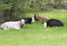 Fyra betande kor i Sätraskogen